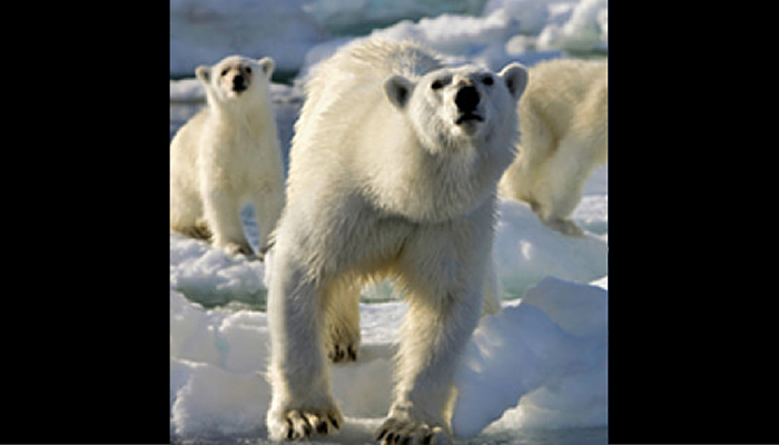 Polo Bears