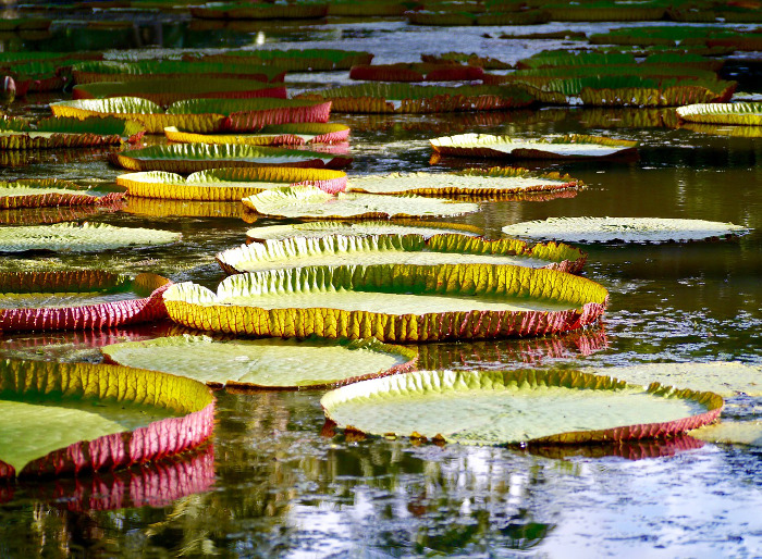 Mauritius Pamplemousses Gardens Giant Water Lilys