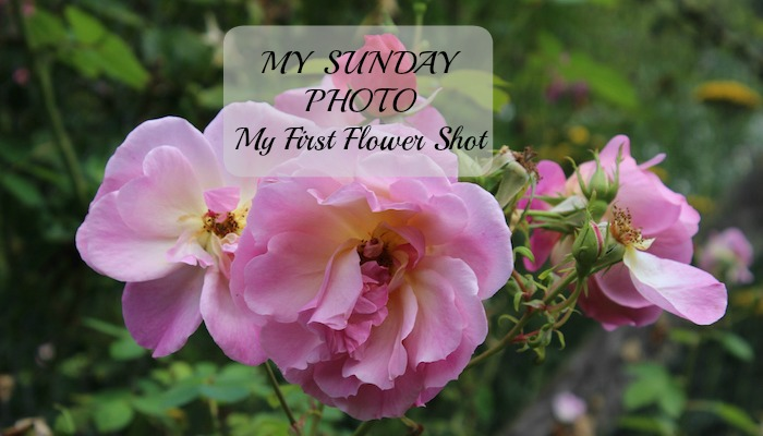 My Sunday Photo – My First Flower Shot